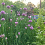 chives and chervil flowers